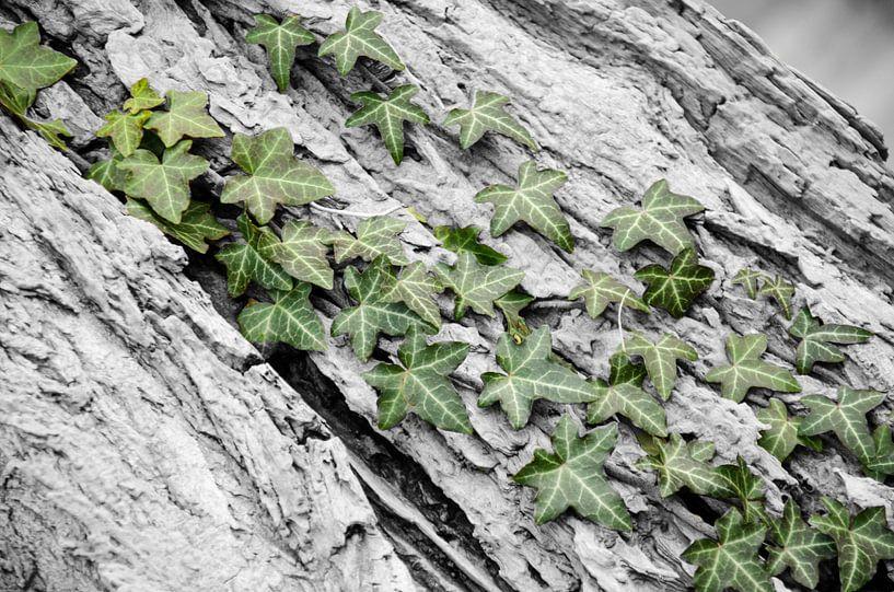 Groene klimop aan de bast van een boom. van Mariëtte Plat