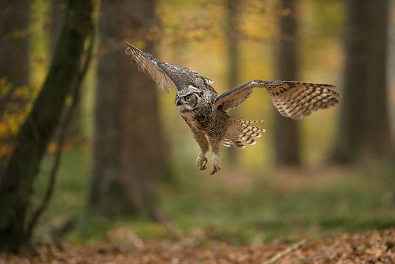 Great Horned Owl / Tiger Owl ( Bubo virginianus ) flying through autumnal coloured woods, in action,