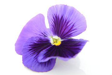 viooltje van Evelien Teeninga
