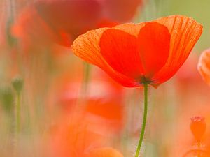 klaproos in het veld, Mohn im Feld, poppy in the field van Monika Wolters