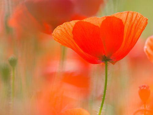 klaproos in het veld, Mohn im Feld, poppy in the field von Monika Wolters