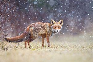 Rode vos in de sneeuw van