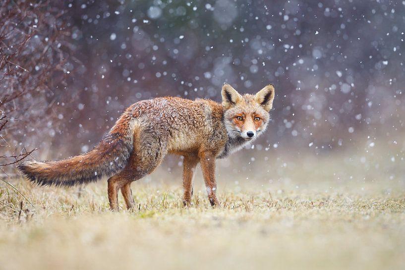 Rode vos in de sneeuw van Pim Leijen
