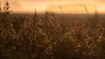 Riet bij ochtendlicht van Percy's fotografie