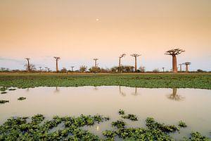 Maan reflectie Baobabs