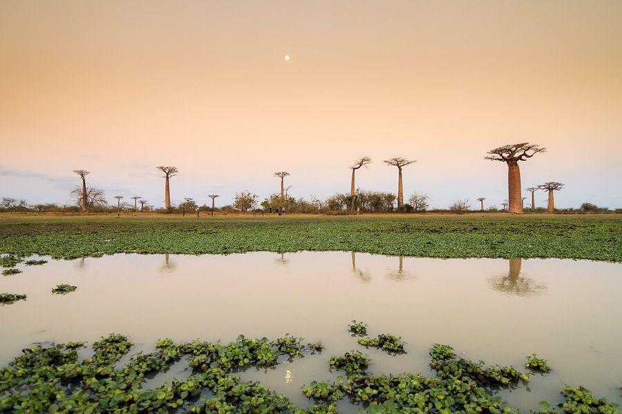 Maan reflectie Baobabs van Dennis van de Water