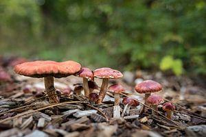 Paddestoelen in het bos 01