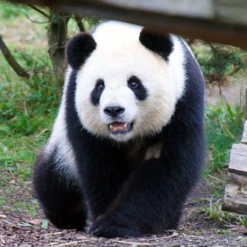 Panda_001_by_JAMFoto van Angelika Möthrath