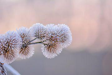 bevroren distel van Tania Perneel