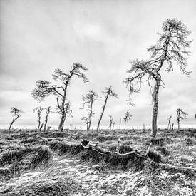 De dode bomen van de Hoge Venen van Jim De Sitter