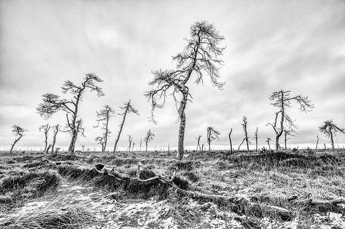 De dode bomen van de Hoge Venen