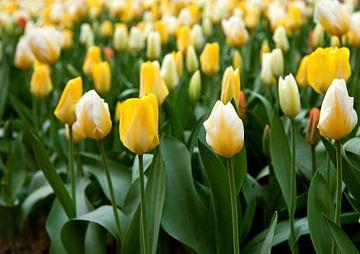 Tulpen von BVpix