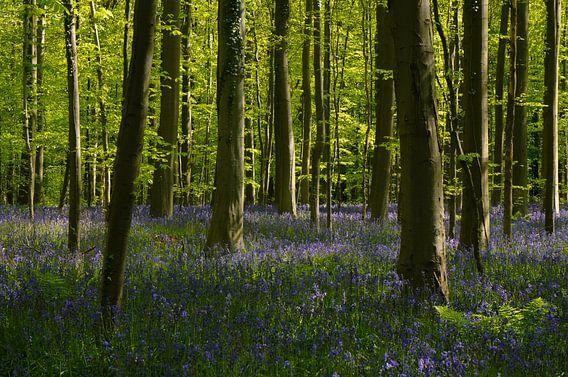Het blauwe tapijt van het Hallerbos van Joris Pannemans - Loris Photography