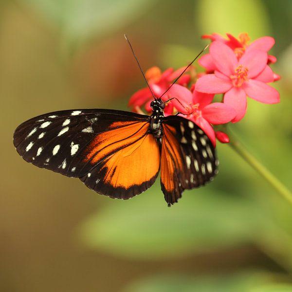 Vlinder hangt aan een bloem (vierkant) van Fotografie Jeronimo