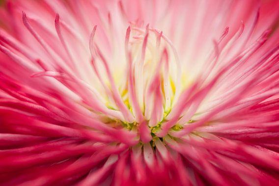 Roze madeliefje (Bellis perennis) van Tamara Witjes