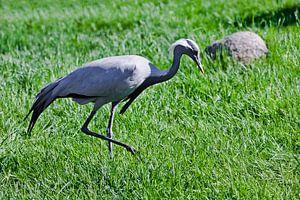 demoiselle kraanvogel op groen gras is sierlijke vogel verzadigde kleuren groen en blauwachtigKraanv