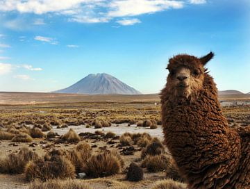 Alpaka mit Vulkan Misti von Ryan FKJ
