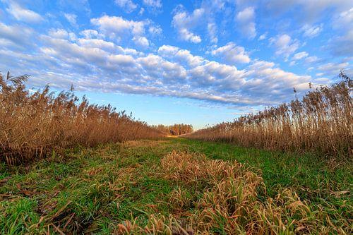 Perspectief op een typisch Nederlands landschap met gras, riet, blauwe lucht met wolkjes