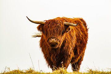 Schottischer Highlander von Claudia Esveldt