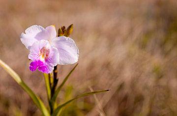 Orchidee auf einer Wiese von Ellis Peeters