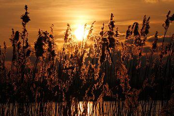 Ondergaande zon door de rietkraag van Pingüino Fotografie