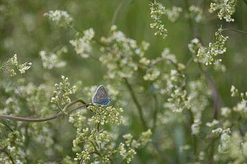 Blauer Schmetterling in der Blüte der Pflanzen von J..M de Jong-Jansen