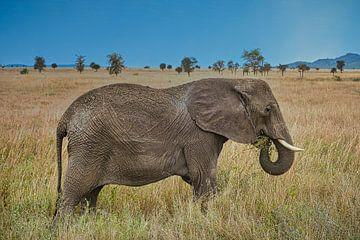 Afrikanischer Riesenelefant in der Savanne von pixxelmixx