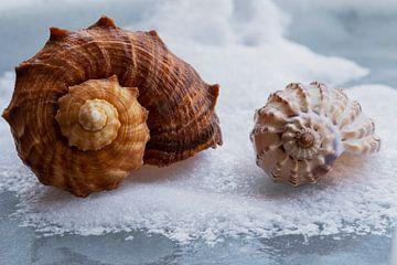 Twee schelpen liggend in de sneeuw van JM de Jong-Jansen