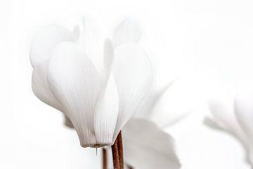 Kleines weißes Alpenveilchen 1 von Kok and Kok