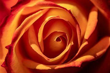 oranje roos van Paul Veen