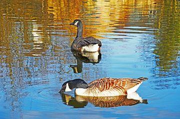 Ganzen in het Grand Union Canal, Engeland