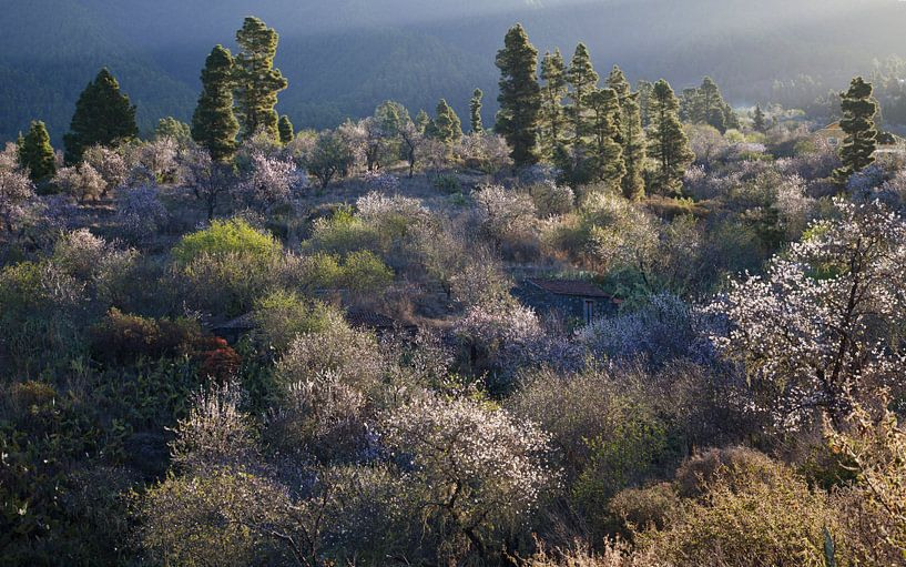 Bloeiende amandelbomen op La Palma, Flourishing almond trees on  van Bendiks Westerink