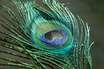 Pfauenfeder in den leuchtenden Farben Grün und Blaugrün
