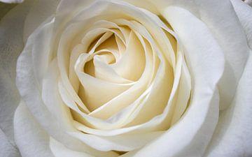 Rose von Pieter Heres