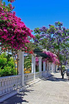 Jacarandabäume und Bougainvilleas  von