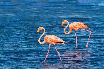 Twee rode caribische flamingo's lopen in water aan kust van Bonaire van Ben Schonewille