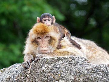 Berberaffe mit Baby auf dem Rücken von Edwin Butter