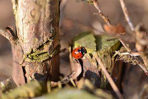 Lieveheersbeestje in de herfst