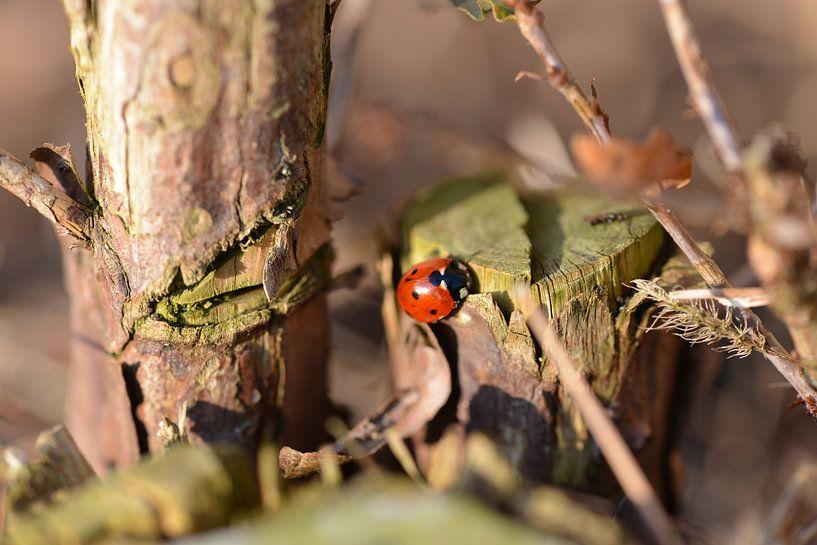 Lieveheersbeestje in de herfst van Jeroen van Breemen