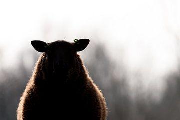 Silhouet schaap van Robert Geerdinck