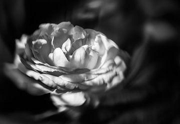 Roos in zwart wit.