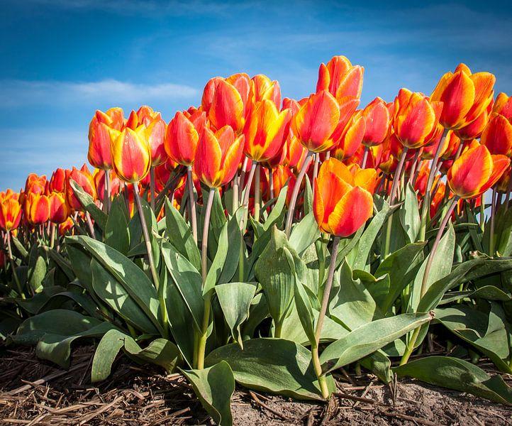 Oranje Rode Tulpen 001