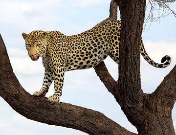 Luipaard in boom van