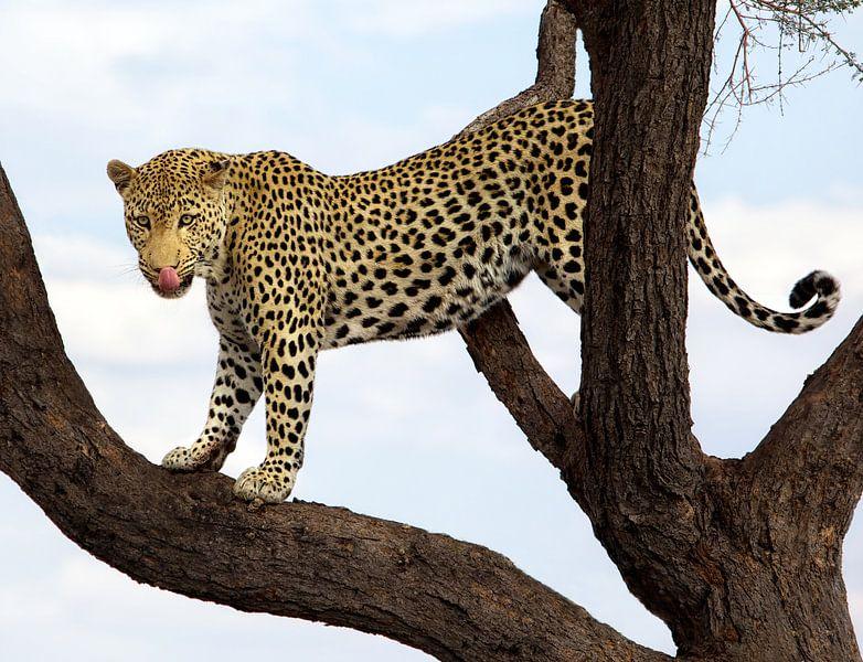 Luipaard in boom van Fotografie Egmond