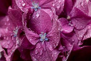 Lila  bloemen met dauwdruppels in het ochtendlicht. van martin von rotz