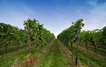 Op weg naar de wijnfles. Duitsland de Moesel wijngaarde van noeky1980 photography