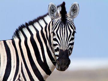 Neugieriges Zebra von Angelika Stern