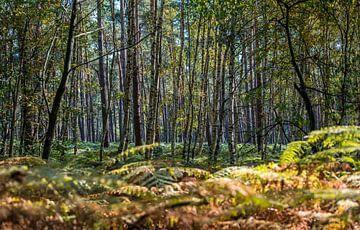 Birken-Lembenwälder von Peter Deschepper