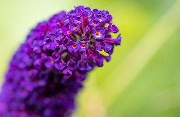Violetter Schmetterlingsstrauch von Kelly Rensen