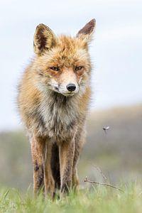 Mooie vos ziet een vliegje